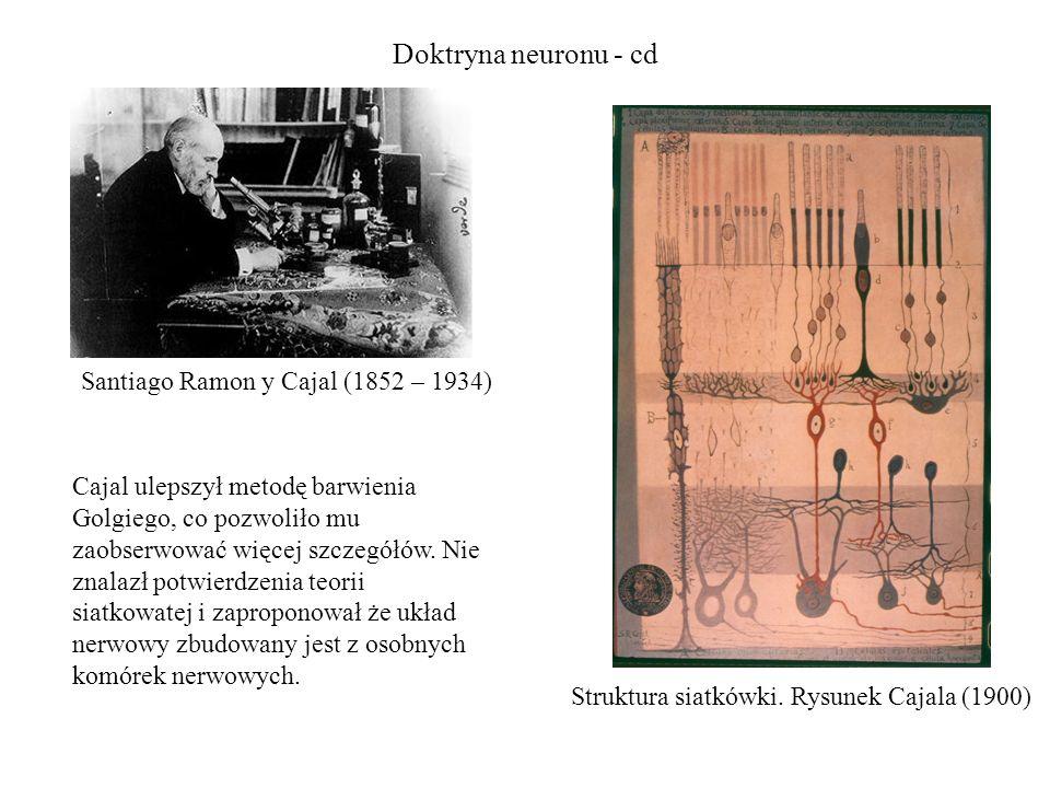 Doktryna neuronu - cd Santiago Ramon y Cajal (1852 – 1934)