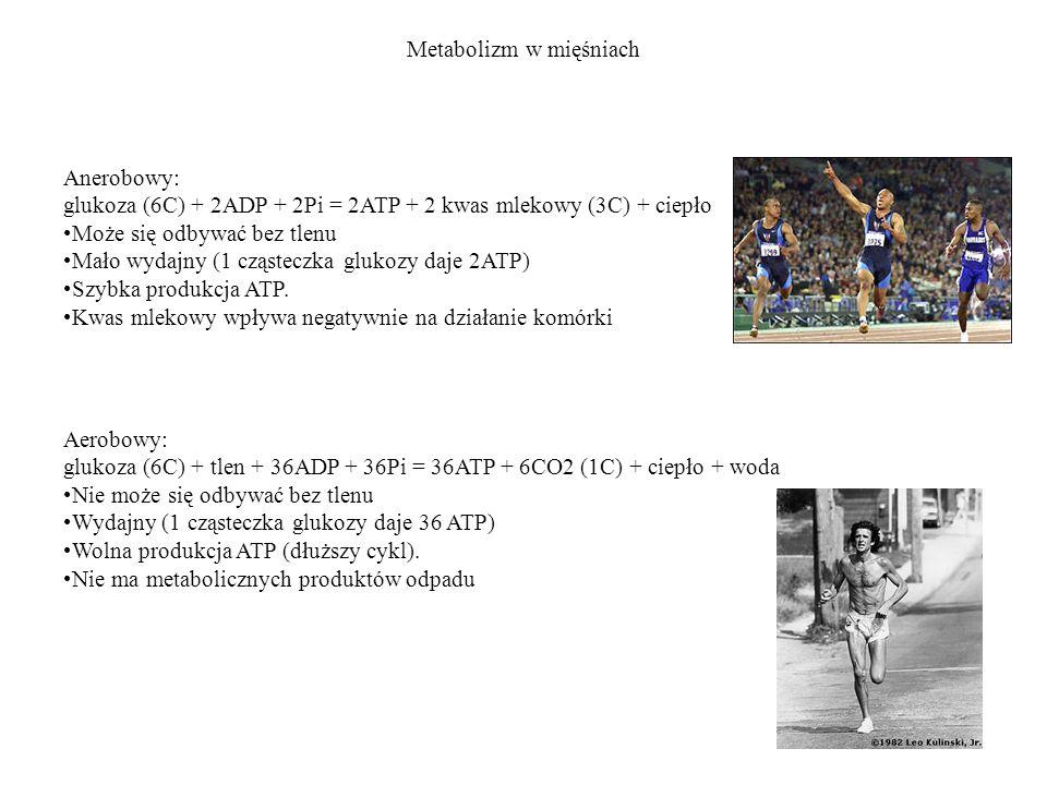 Metabolizm w mięśniach