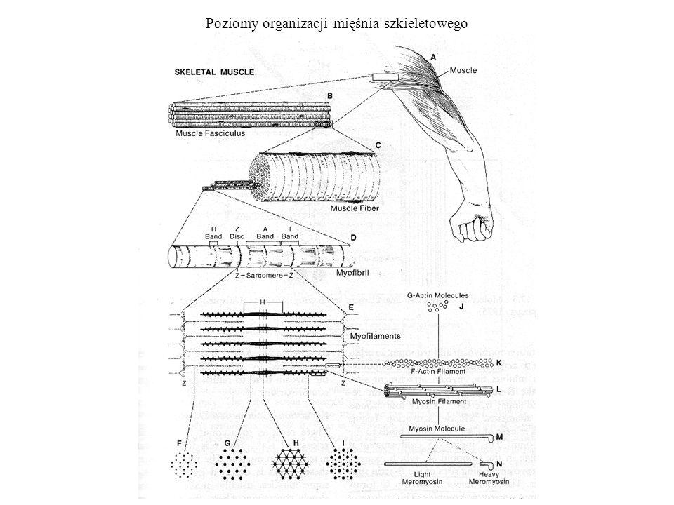 Poziomy organizacji mięśnia szkieletowego
