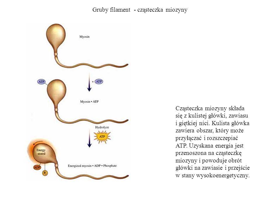 Gruby filament - cząsteczka miozyny