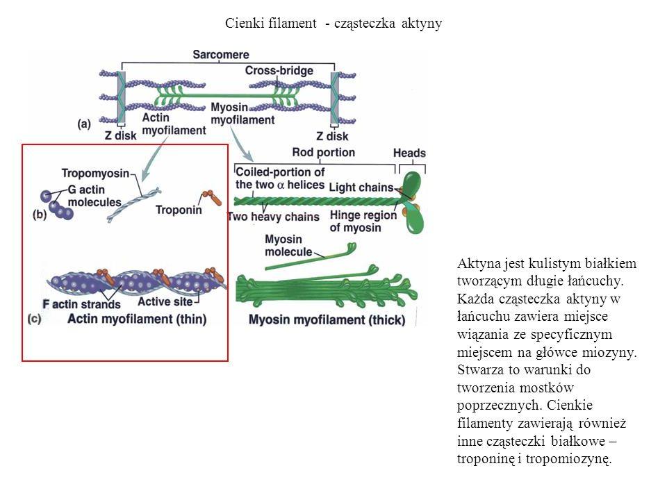 Cienki filament - cząsteczka aktyny