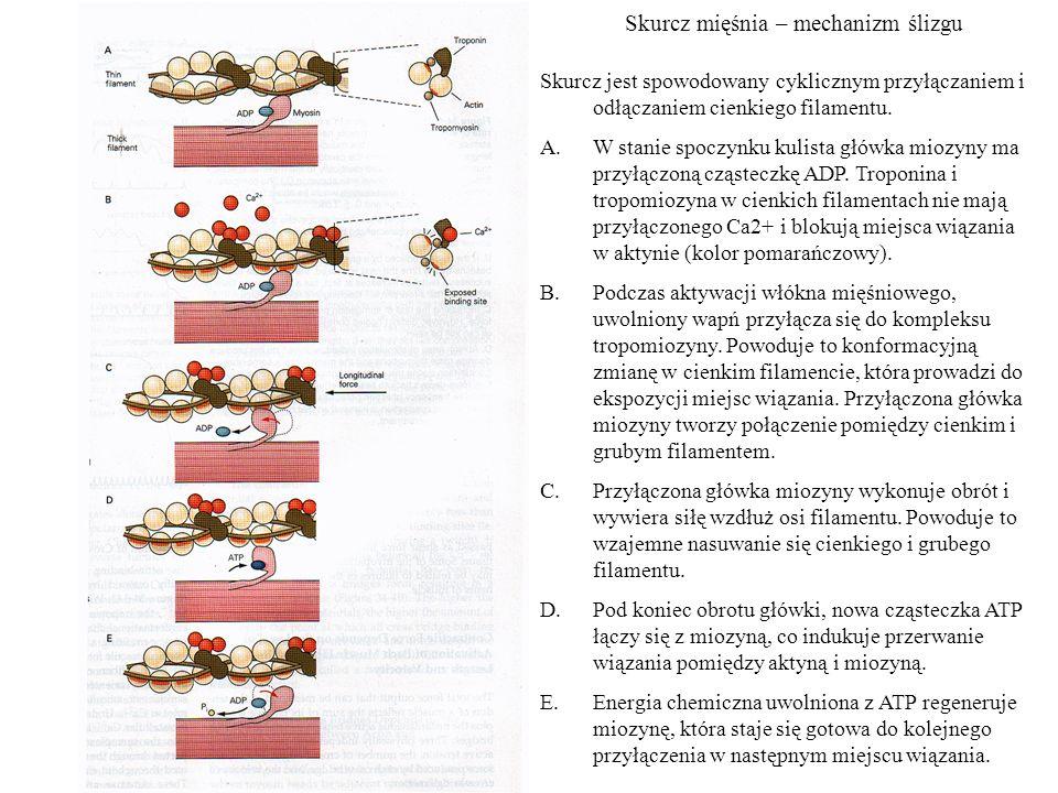 Skurcz mięśnia – mechanizm ślizgu