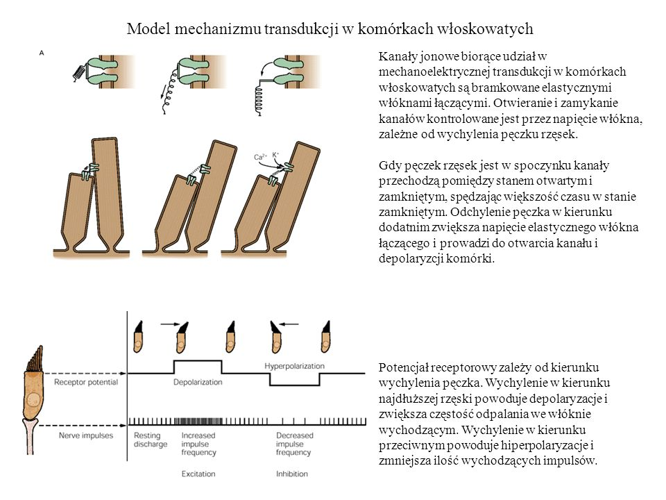 Model mechanizmu transdukcji w komórkach włoskowatych