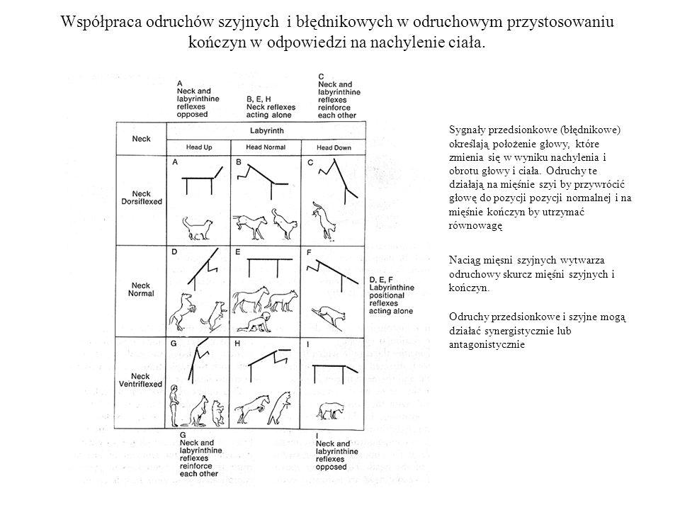 Współpraca odruchów szyjnych i błędnikowych w odruchowym przystosowaniu kończyn w odpowiedzi na nachylenie ciała.
