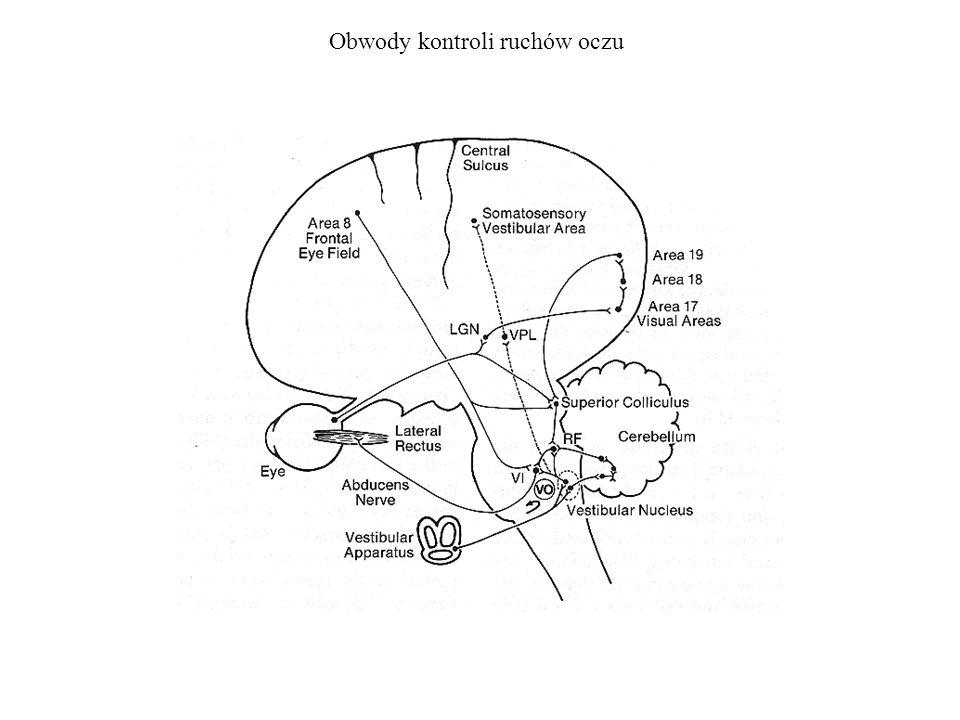 Obwody kontroli ruchów oczu