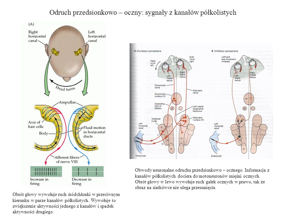 Odruch przedsionkowo – oczny: sygnały z kanałów półkolistych