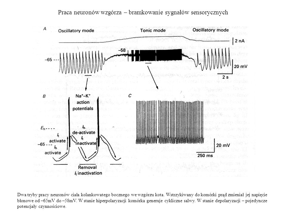 Praca neuronów wzgórza – bramkowanie sygnałów sensorycznych