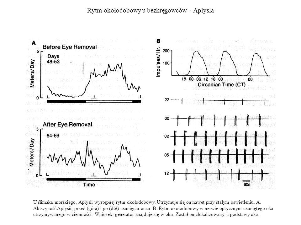 Rytm okołodobowy u bezkręgowców - Aplysia
