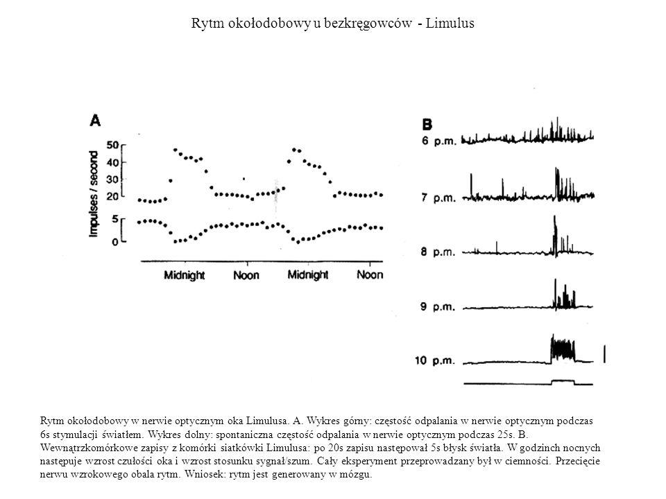 Rytm okołodobowy u bezkręgowców - Limulus