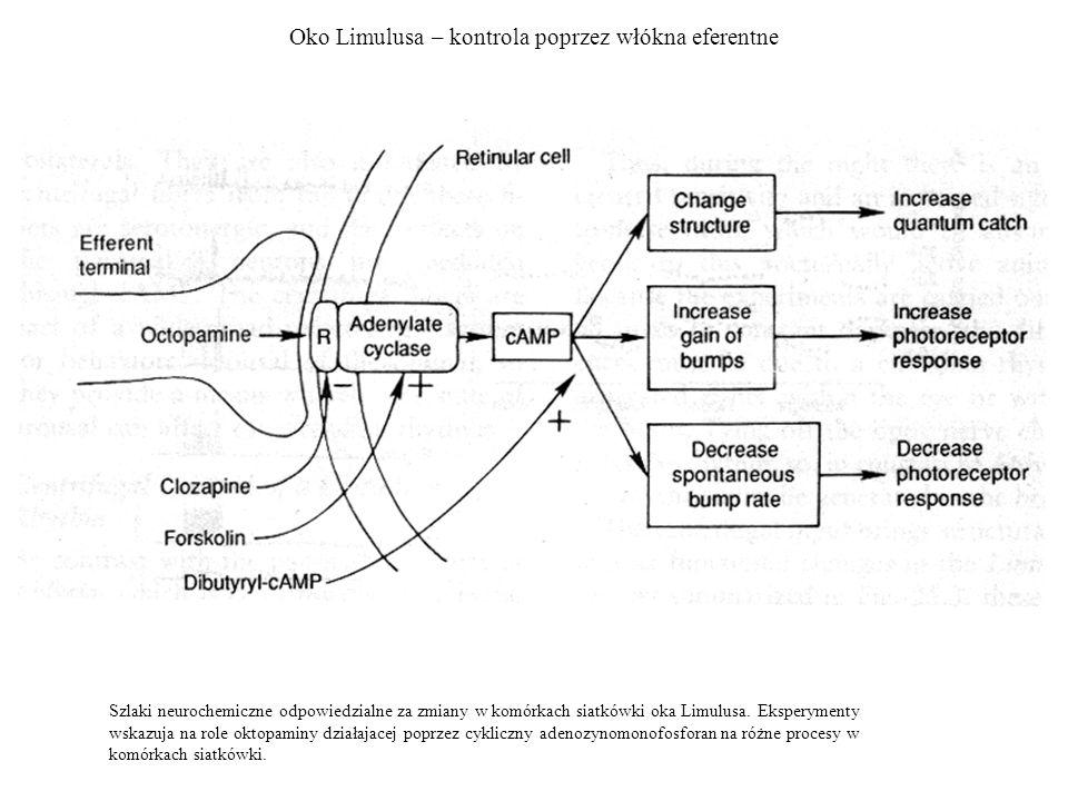 Oko Limulusa – kontrola poprzez włókna eferentne