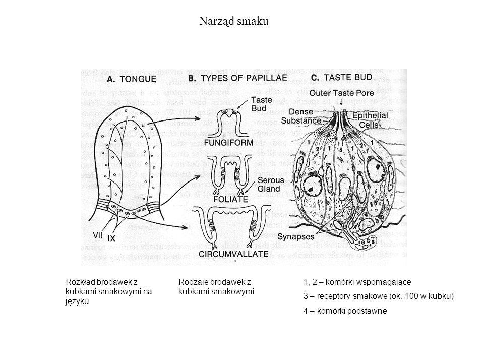 Narząd smaku Rozkład brodawek z kubkami smakowymi na języku