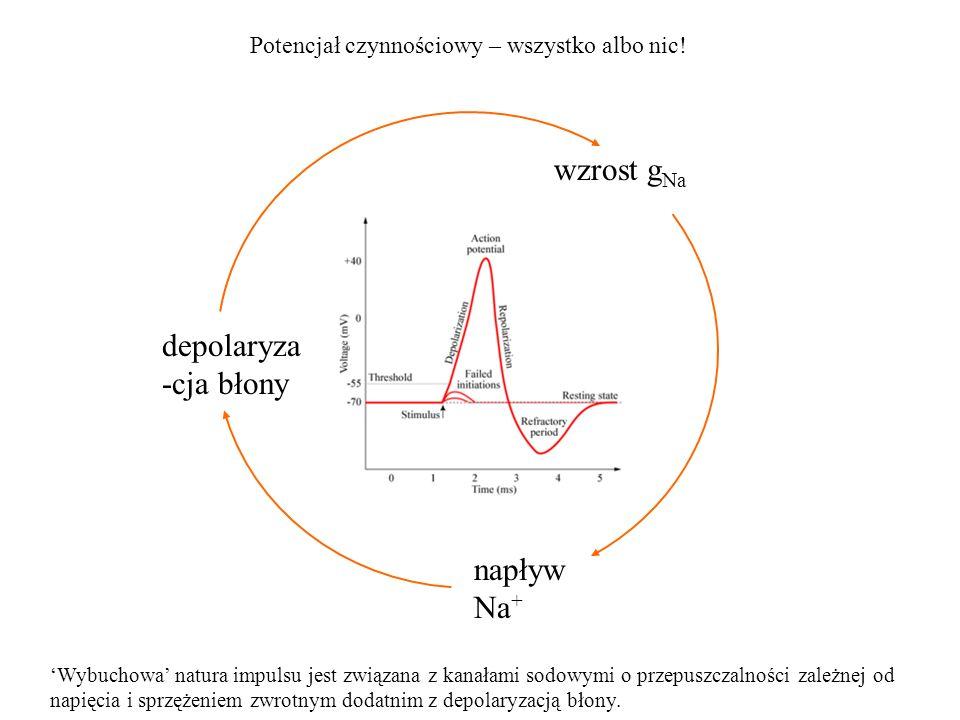 wzrost gNa depolaryza-cja błony napływ Na+