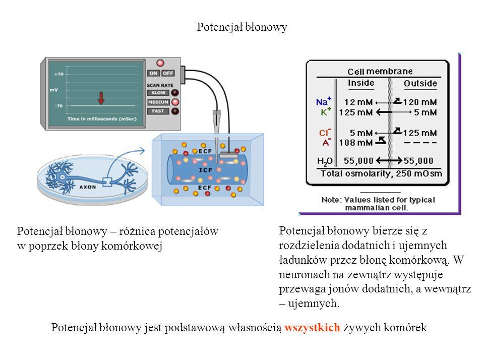 Potencjał błonowy Potencjał błonowy – różnica potencjałów w poprzek błony komórkowej.
