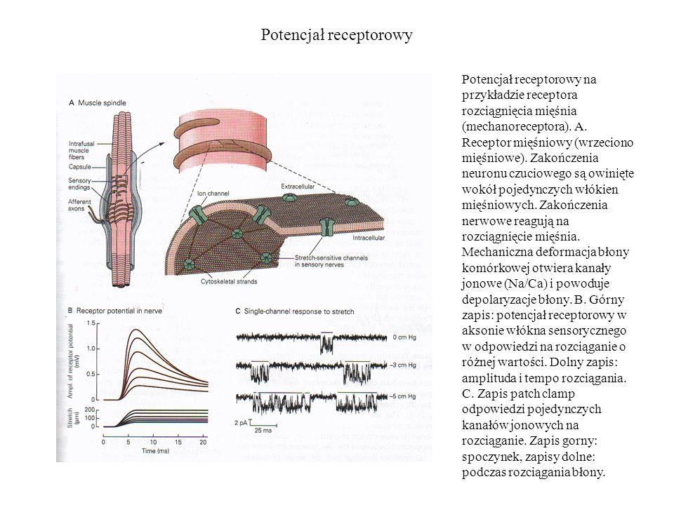 Potencjał receptorowy