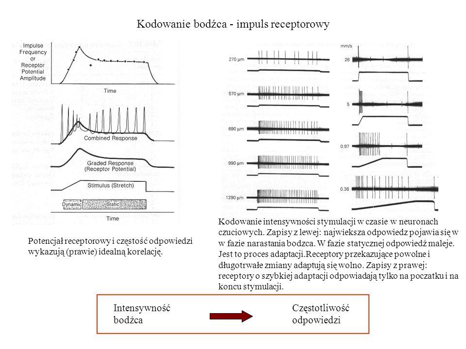 Kodowanie bodźca - impuls receptorowy