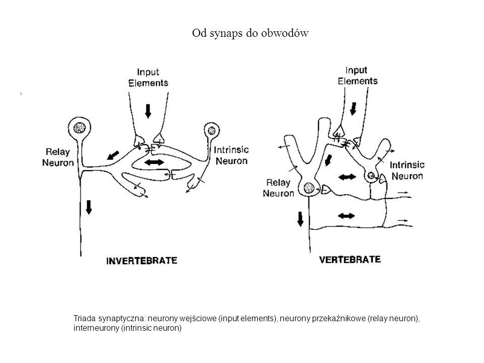 Od synaps do obwodów Triada synaptyczna: neurony wejściowe (input elements), neurony przekaźnikowe (relay neuron), interneurony (intrinsic neuron)