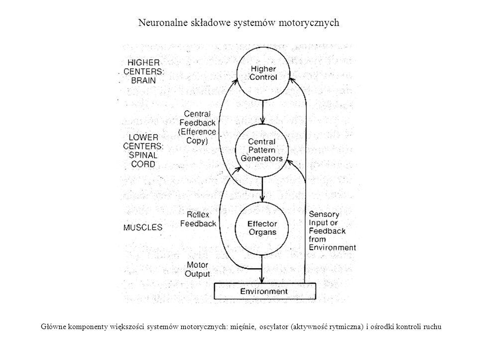 Neuronalne składowe systemów motorycznych