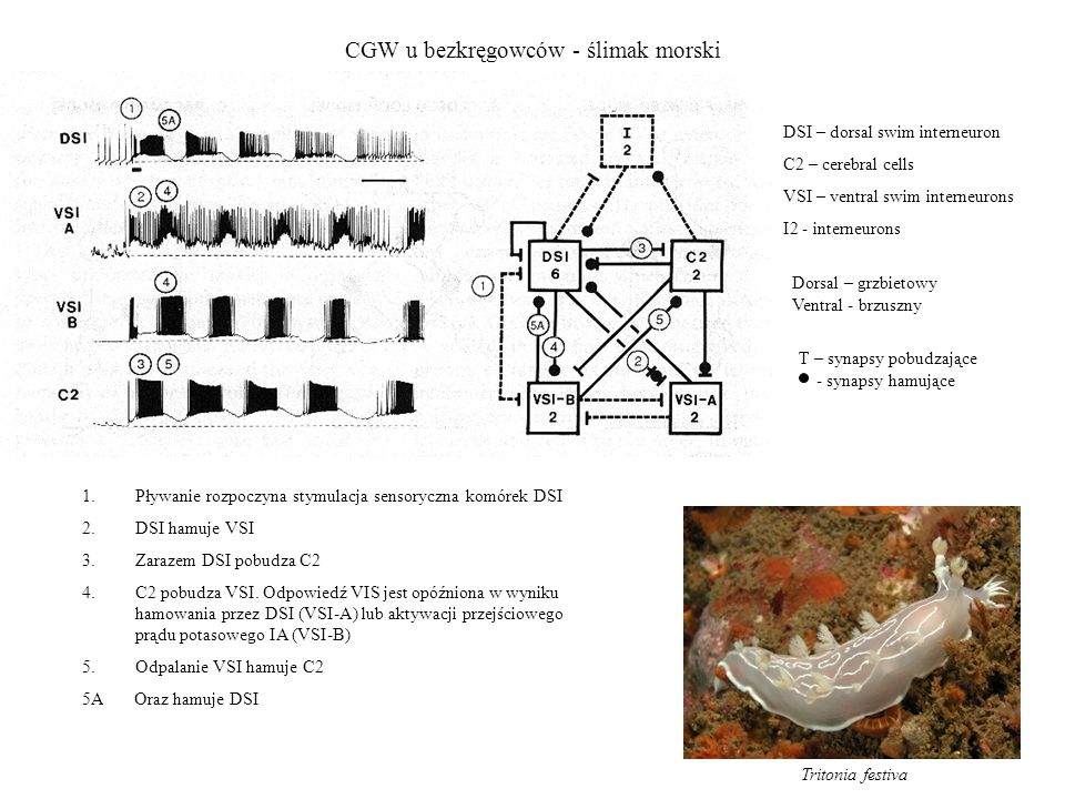 CGW u bezkręgowców - ślimak morski
