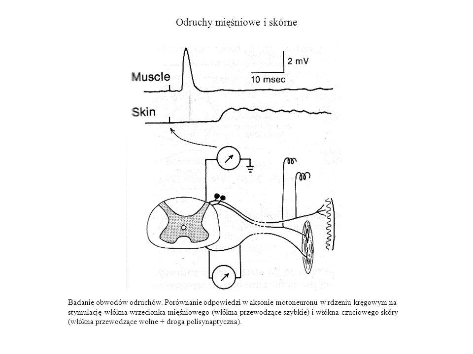 Odruchy mięśniowe i skórne