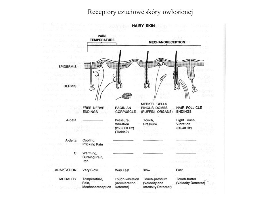 Receptory czuciowe skóry owłosionej