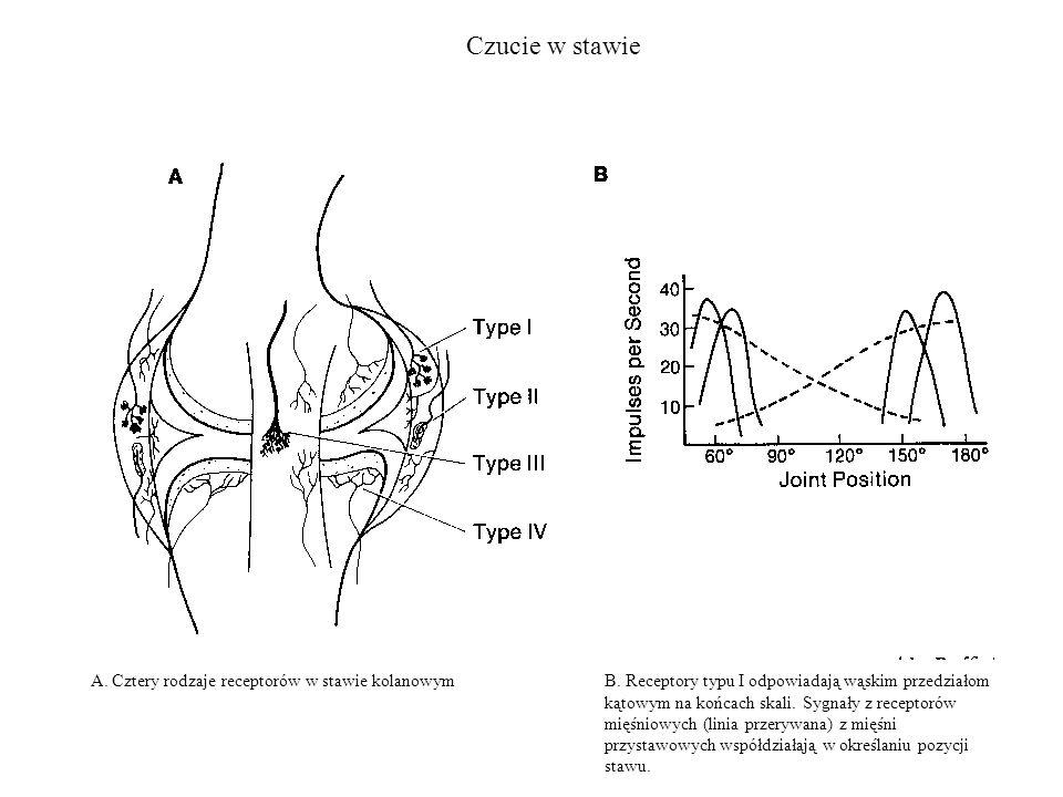 Czucie w stawie A. Cztery rodzaje receptorów w stawie kolanowym