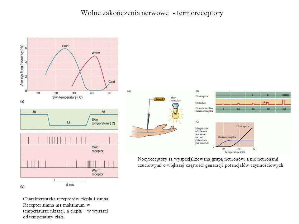 Wolne zakończenia nerwowe - termoreceptory