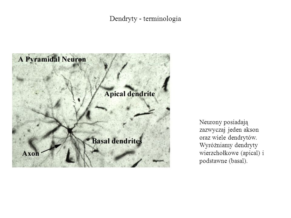 Dendryty - terminologia