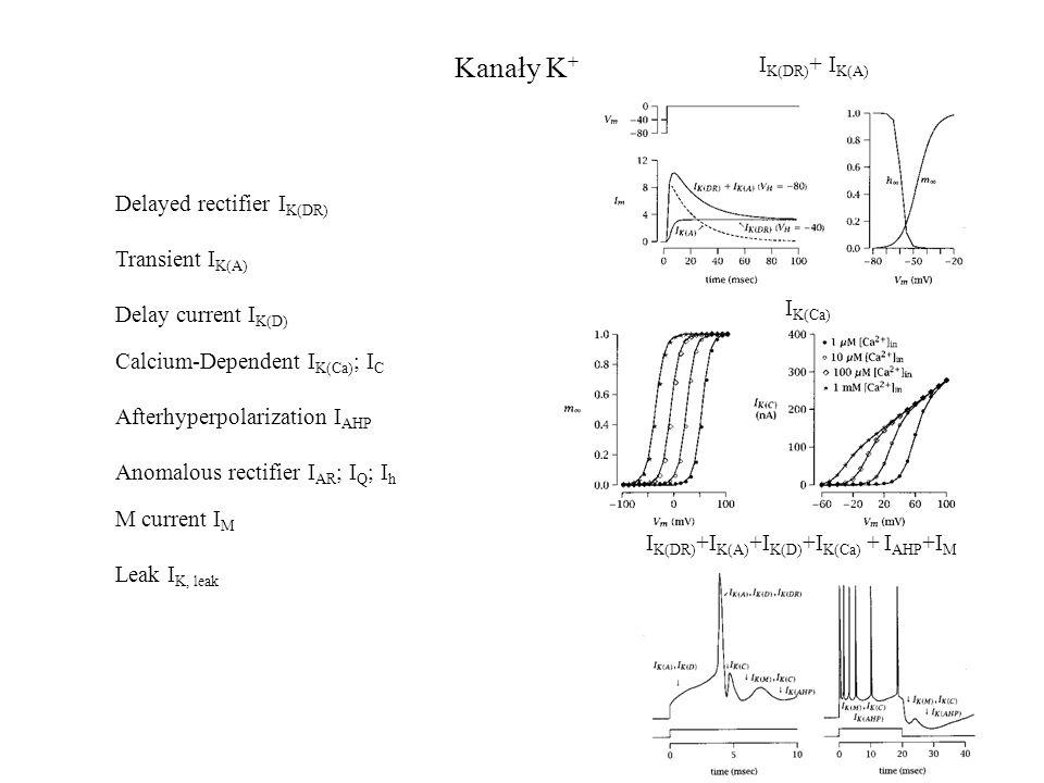 Kanały K+ IK(DR)+ IK(A) Delayed rectifier IK(DR) Transient IK(A)