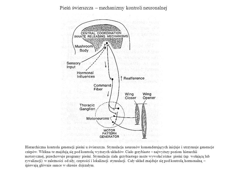Pieśń świerszcza – mechanizmy kontroli neuronalnej