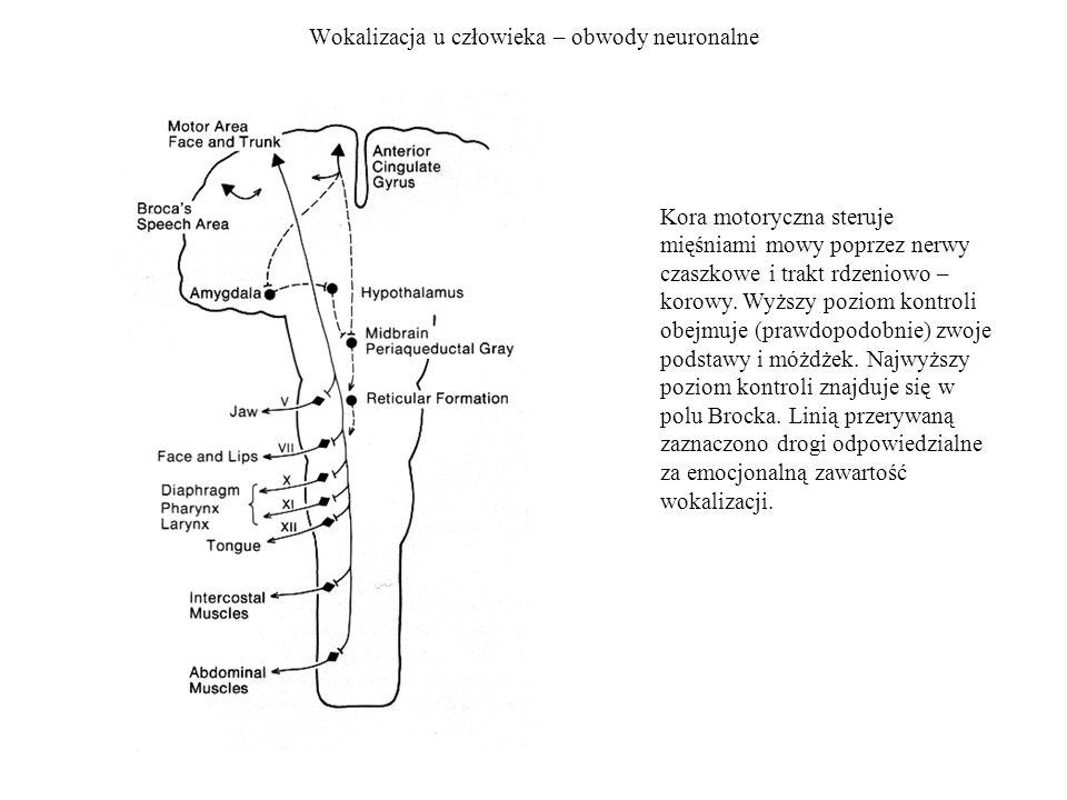 Wokalizacja u człowieka – obwody neuronalne