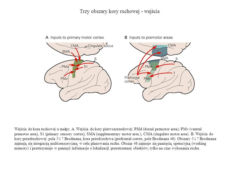 Trzy obszary kory ruchowej - wejścia
