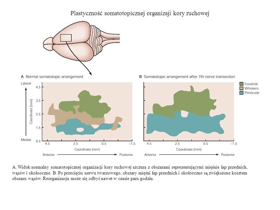 Plastyczność somatotopicznej organizaji kory ruchowej