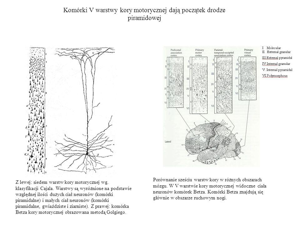 Komórki V warstwy kory motorycznej dają początek drodze piramidowej