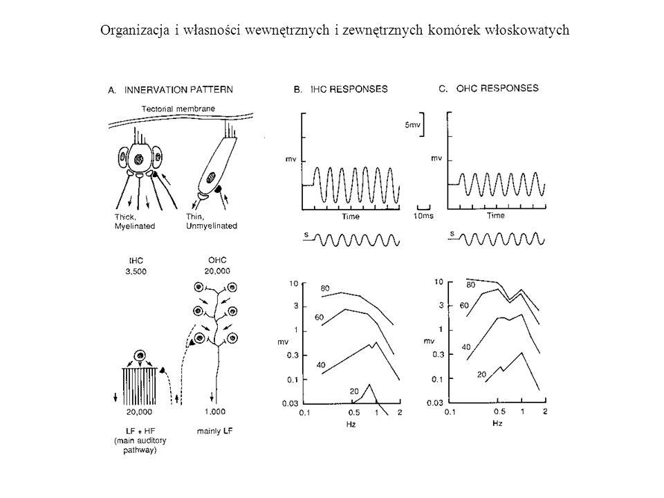 Organizacja i własności wewnętrznych i zewnętrznych komórek włoskowatych