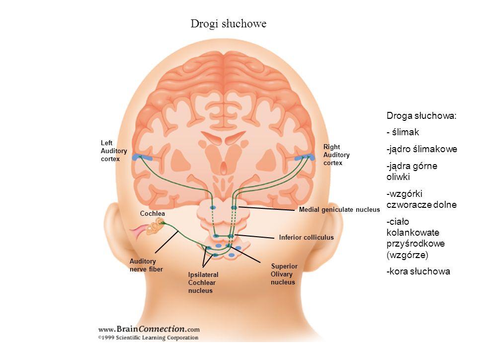 Drogi słuchowe Droga słuchowa: - ślimak -jądro ślimakowe