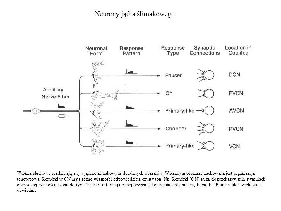 Neurony jądra ślimakowego