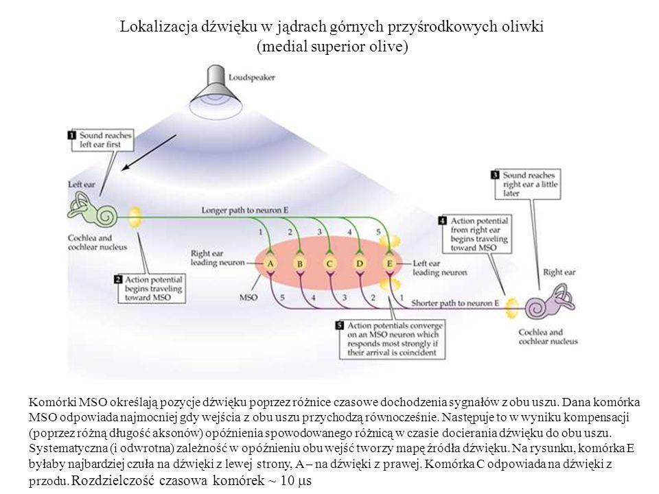 Lokalizacja dźwięku w jądrach górnych przyśrodkowych oliwki