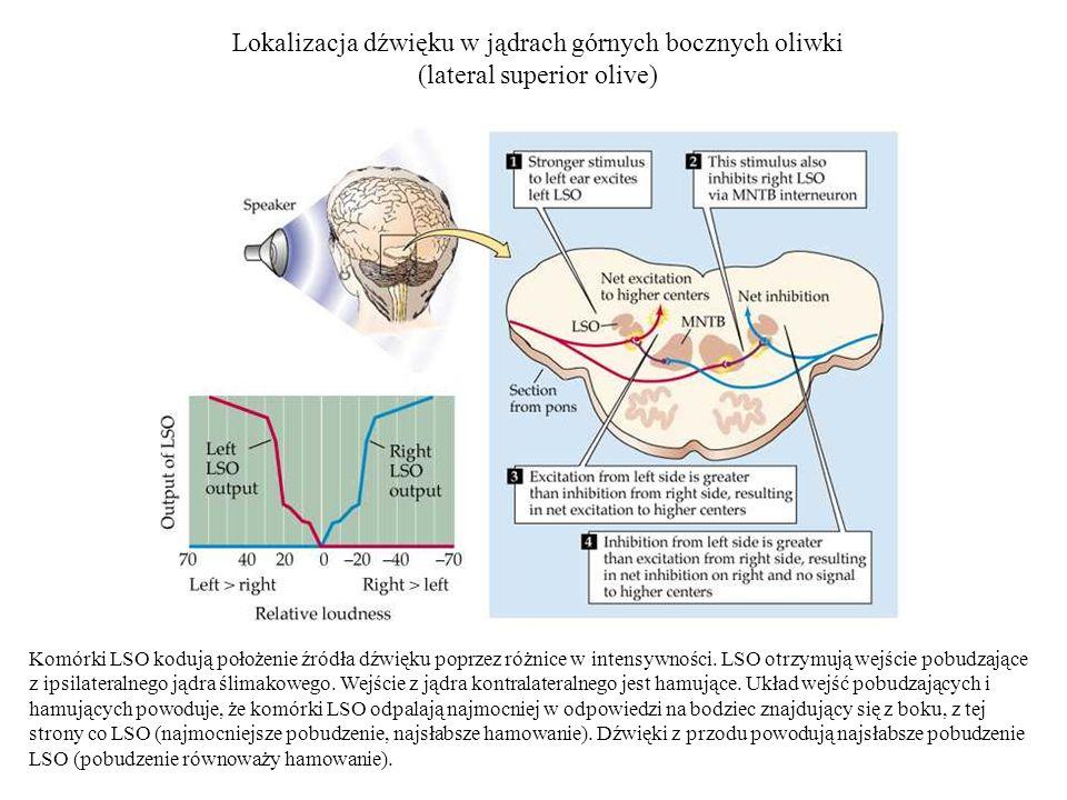 Lokalizacja dźwięku w jądrach górnych bocznych oliwki