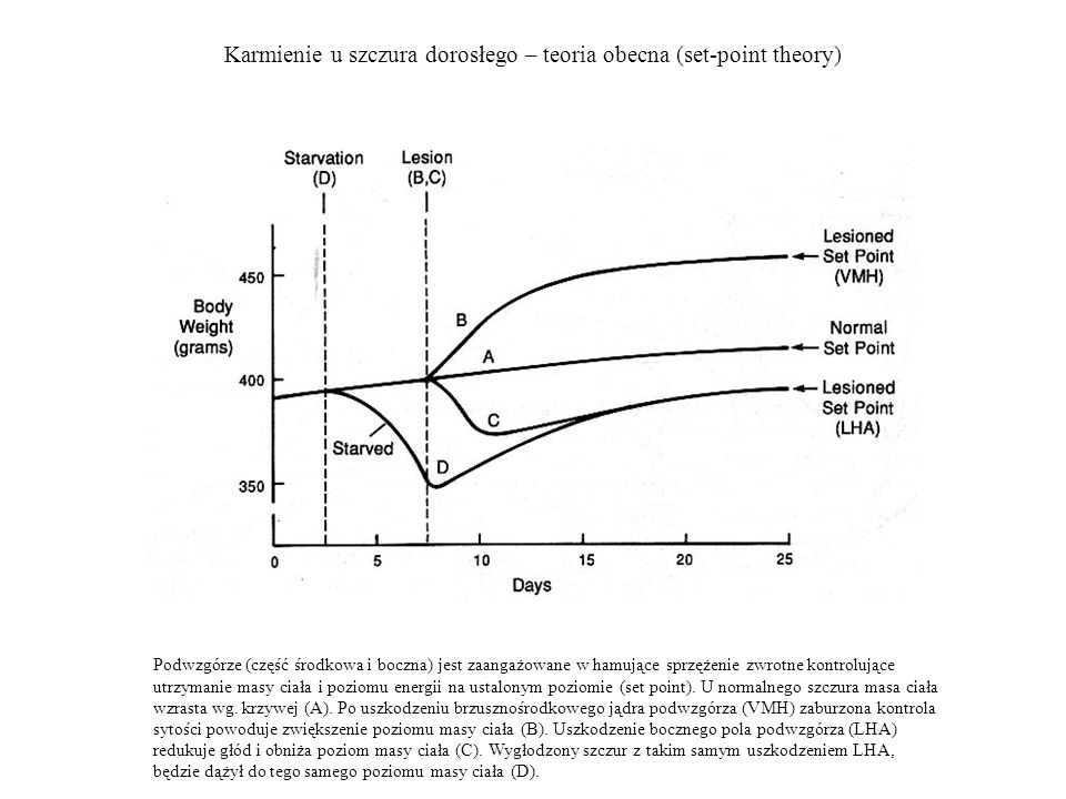 Karmienie u szczura dorosłego – teoria obecna (set-point theory)