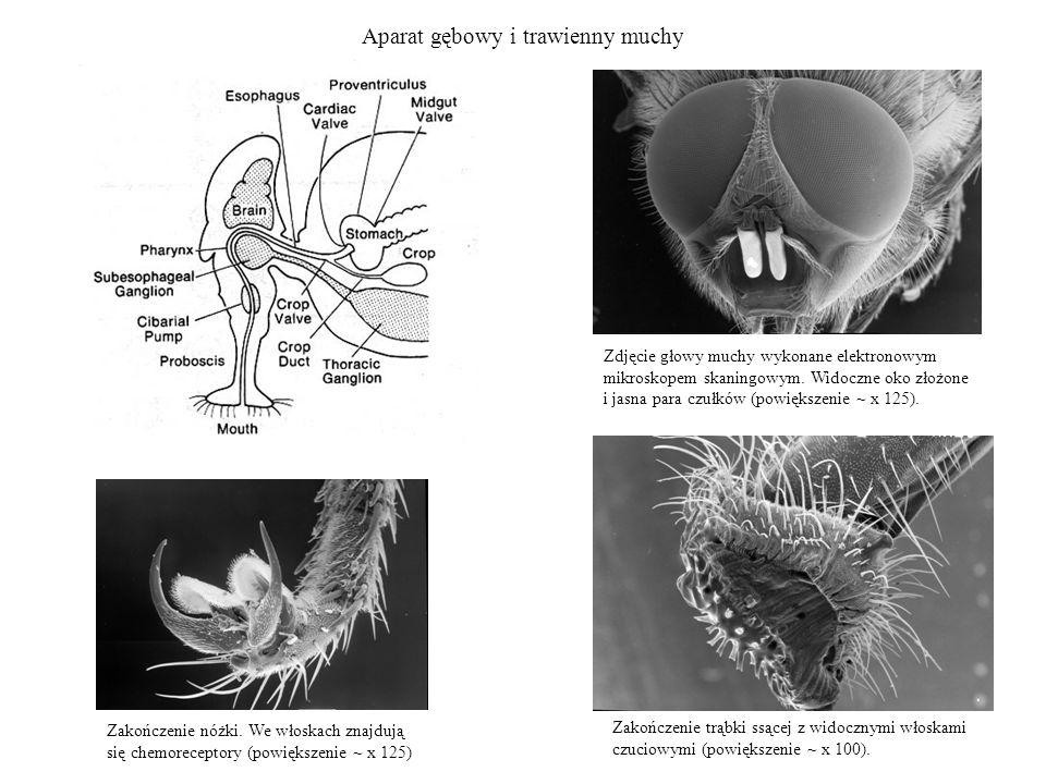Aparat gębowy i trawienny muchy