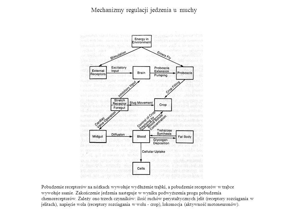 Mechanizmy regulacji jedzenia u muchy