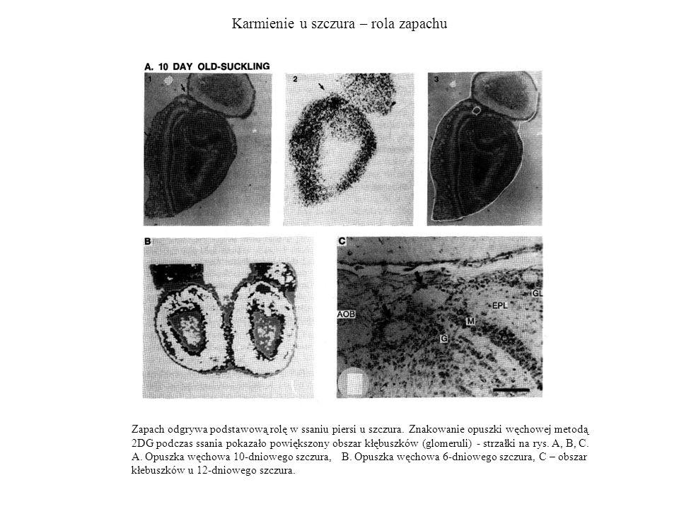 Karmienie u szczura – rola zapachu