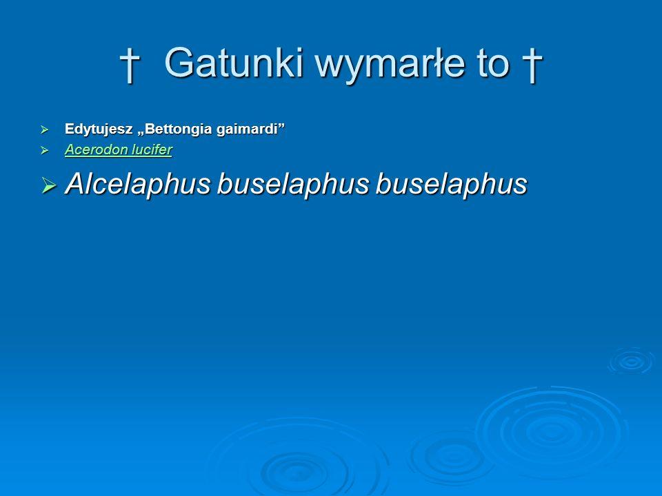 † Gatunki wymarłe to † Alcelaphus buselaphus buselaphus