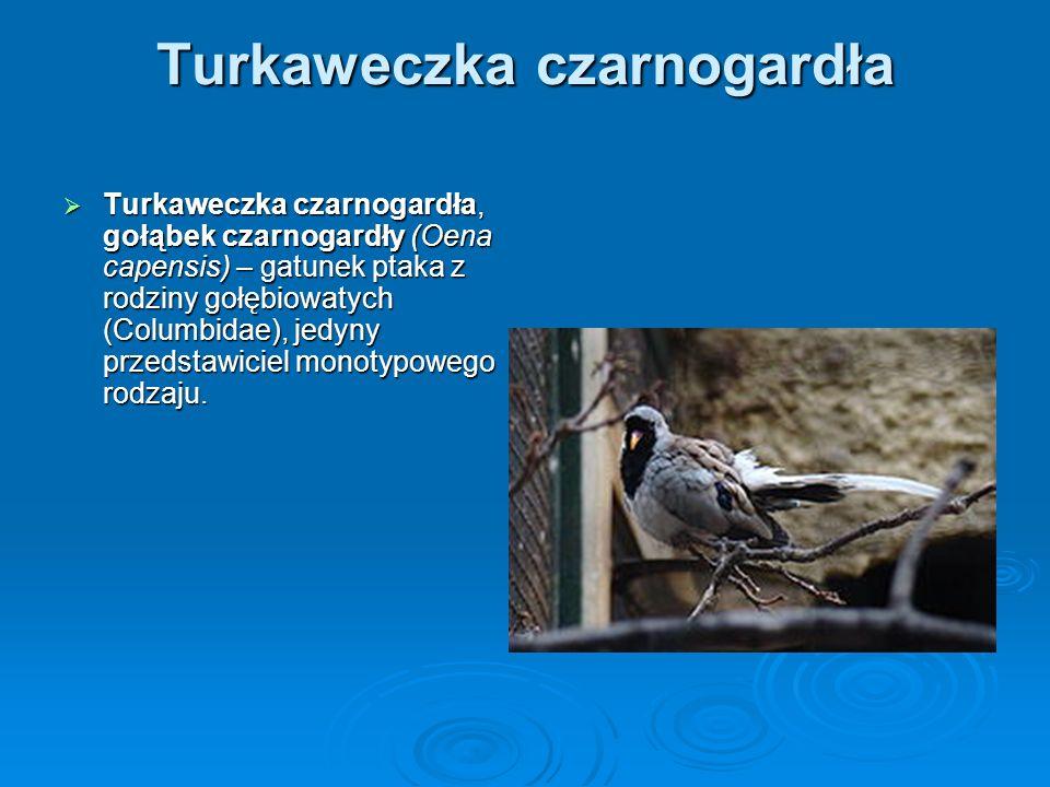 Turkaweczka czarnogardła