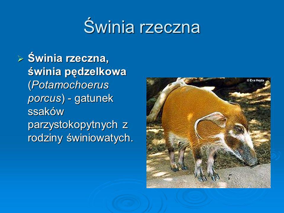 Świnia rzeczna Świnia rzeczna, świnia pędzelkowa (Potamochoerus porcus) - gatunek ssaków parzystokopytnych z rodziny świniowatych.