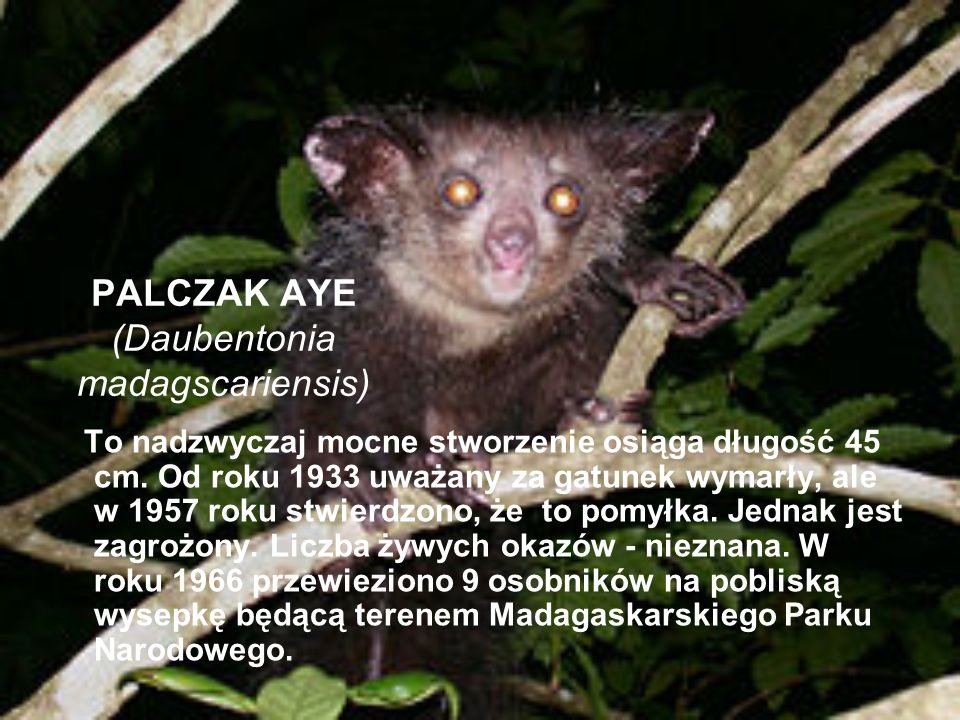 PALCZAK AYE (Daubentonia madagscariensis)