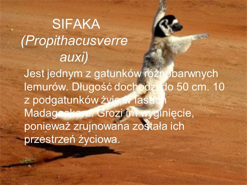 SIFAKA (Propithacusverreauxi)