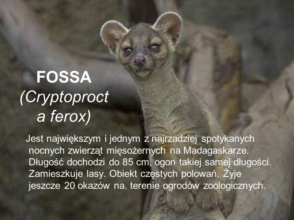 FOSSA (Cryptoprocta ferox)