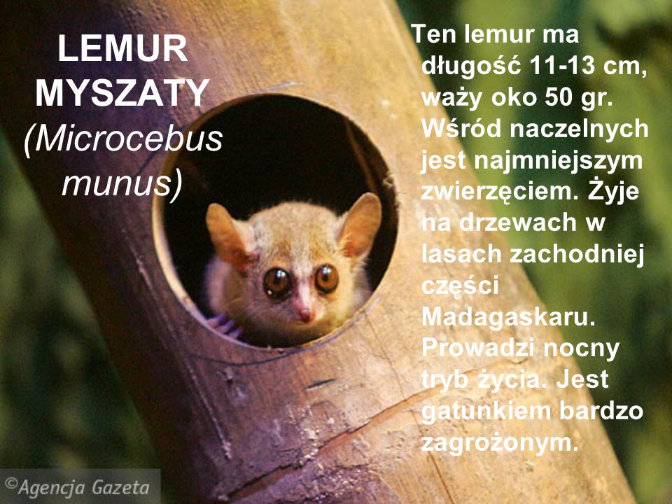 LEMUR MYSZATY (Microcebus munus)