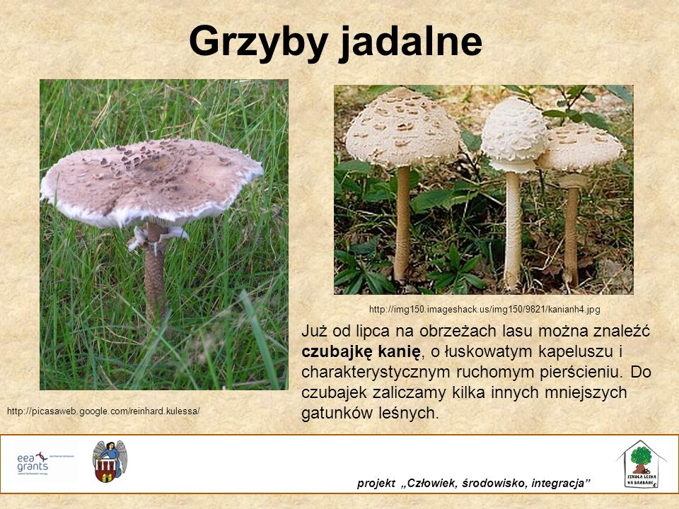 Grzyby jadalne http://img150.imageshack.us/img150/9821/kanianh4.jpg.